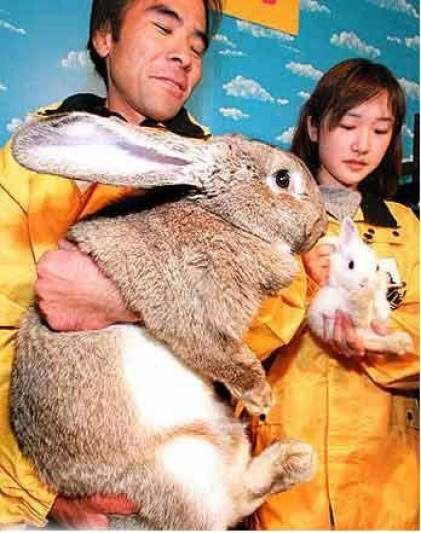fat rabbit giant rabbit huge rabbit coelho grande gordo gigante